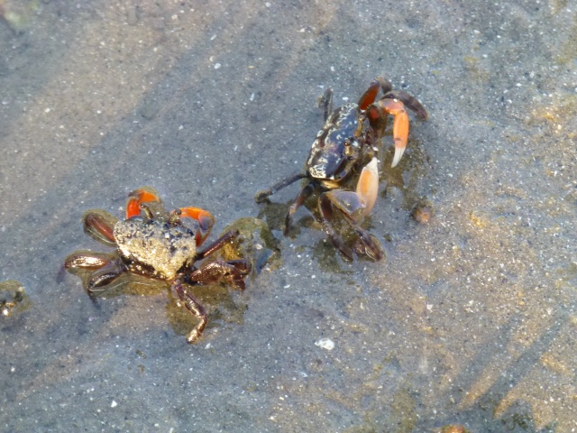 Crabs in amongst the mangroves