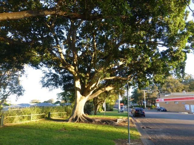 Huge fig near the main street