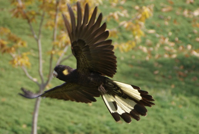 Black Cockatoo in flight at Mayfield Garden