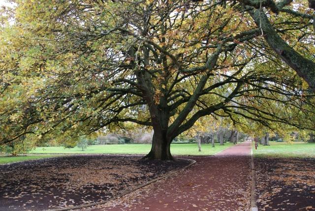 Huge trees display their splendor in the gardens at Ballarat