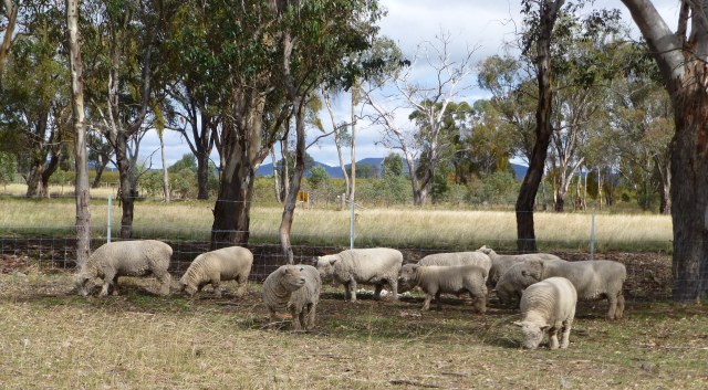The Short Sheep that look after the vineyard at Short Sheep Wines