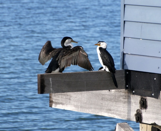 Cormorants near the Jetty Interpretive Centre