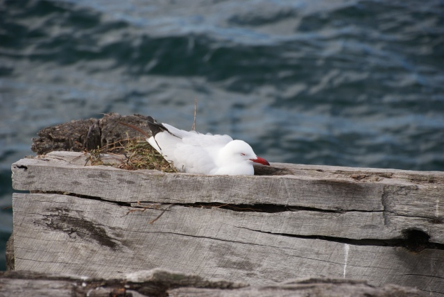 Seagull nesting in part of the old jetty