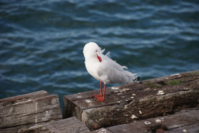 Seagull on part of the old jetty