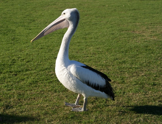 Young Pelican waiting to be fed