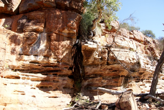 A tree growing in the rocks above the Murchison River - note the roots going down to seek moisture