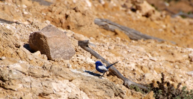 Blue wren on Red Bluff