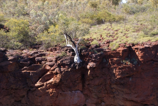 A tree clinging to the top of Dales Gorge