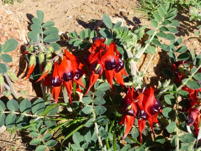 Sturt's Desert Pea at Wudinna