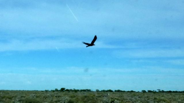 Eagles were feeding on the road kill kangaroos along the way