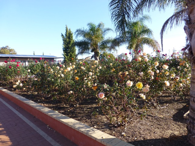 The rose garden at the Council Office in Norseman - lovely scents