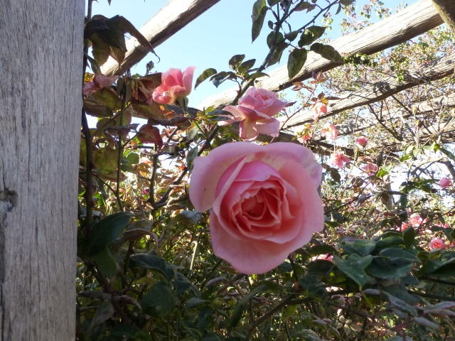 One of the few blooms in the Rose Maze at this time of year