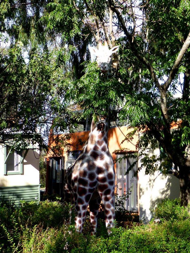 Giraffe at Kojonup Caravan Park