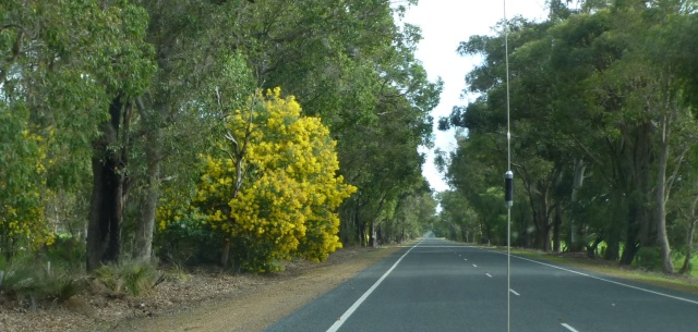 The wattle is in bloom near Busselton