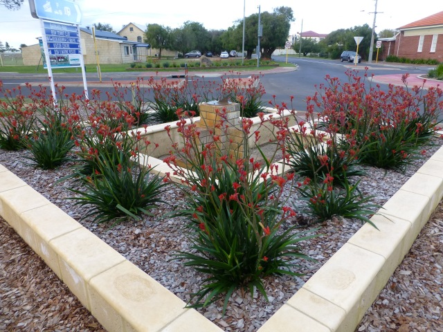 Kangaroo Paw obviously grow well in Busselton and are used extensively in street plantings