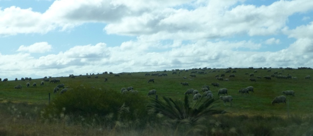 Plenty of sheep in this part of the world
