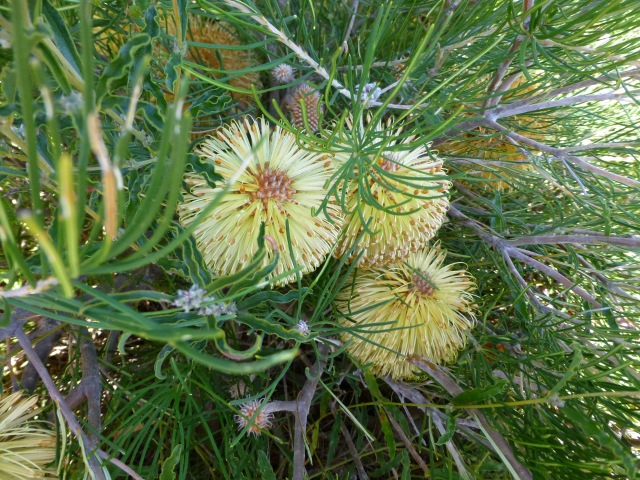 Banksia blooms at Nilgen Lookout