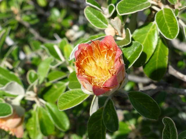 Lovely Murchison Rose growing beside the path at Coastal Cliffs at Kalbarri