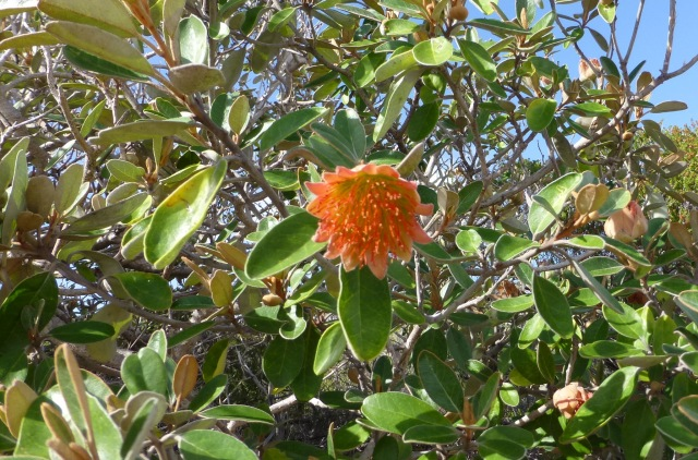 Wildflowers are plentiful along Coastal Cliffs at Kalbarri