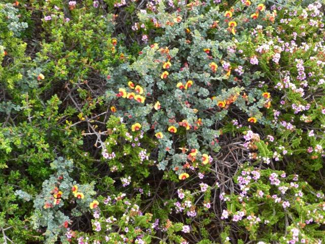 Wildflowers long the path at Coastal Cliffs at Kalbarri