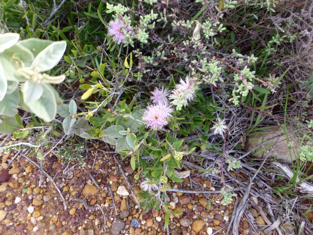 Wildflowers along the path at Coastal Cliffs at Kalbarri