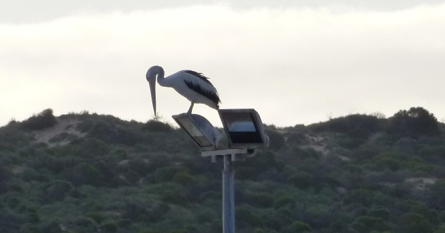 Pelican taking the high view at Kalbarri