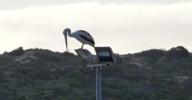 Pelican taking the high view at Kalbarri