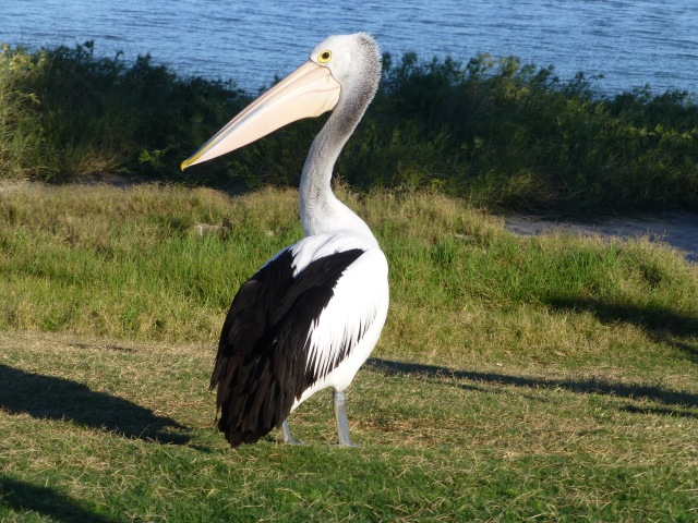 Number one Pelican at the feeding on the banks of the Murchison at Kalbarri