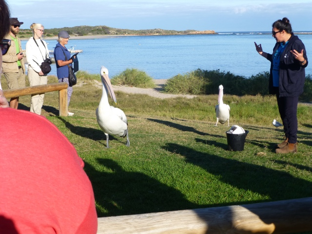 Volunteer lecturing the Pelicans on behaviour