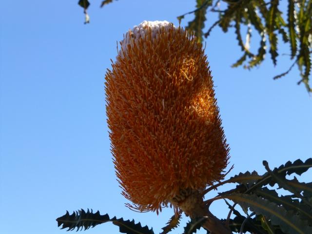 Banksia flower along the road to Kalbarri
