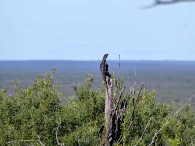 Lizard sunning himself at Meanarra Hill Lookout