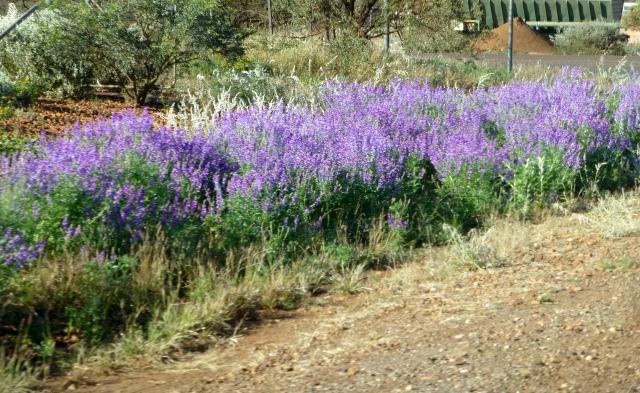 Roadside wildflowers - weeds maybe?