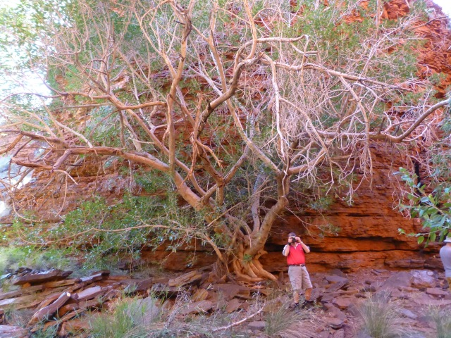 Who is the fool behind the camera under the interesting tree in Weano Gorge