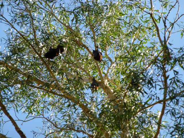 Flying fox are roosting in the trees above Fern Pool