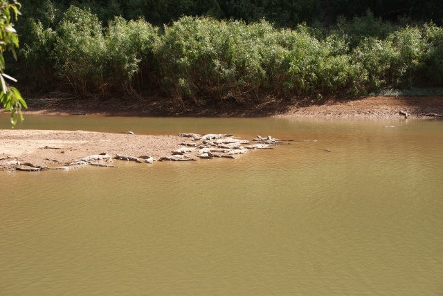A view in Windjana Gorge - many freshwater crocodiles sunbathing on the banks