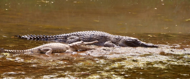 Plenty of freshwater crocodiles at Windjana Gorge