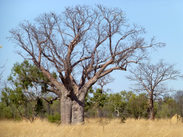 One of the many Boab Trees along the Gibb River Road