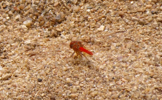 Margaret spotted this red firefly at Windjana Gorge