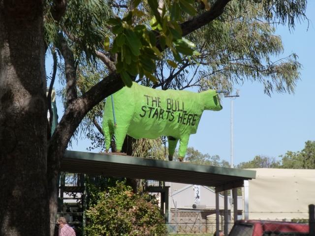 The Bull Starts - at the Kununurra Show Ground