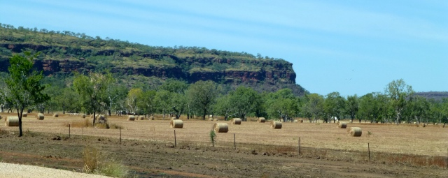 An extensive paddock of hay near the Victoria River Roadhouse