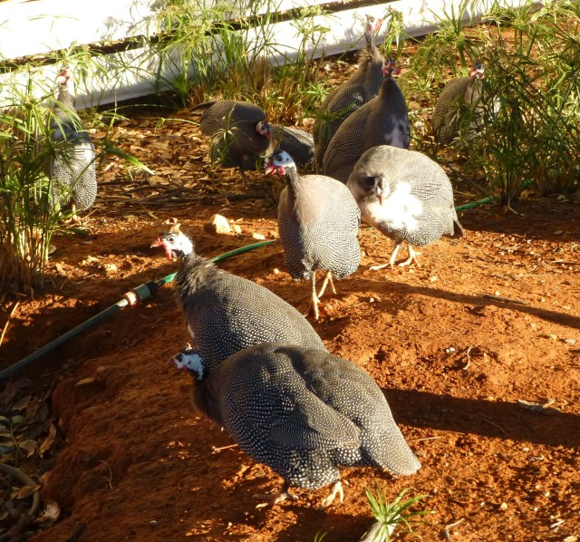 Guinea Fowl at Barkly Homestead
