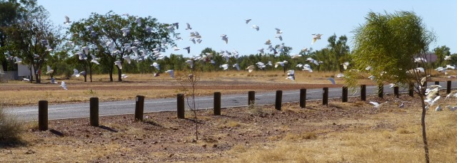 Corellas in flight at Avon Downs