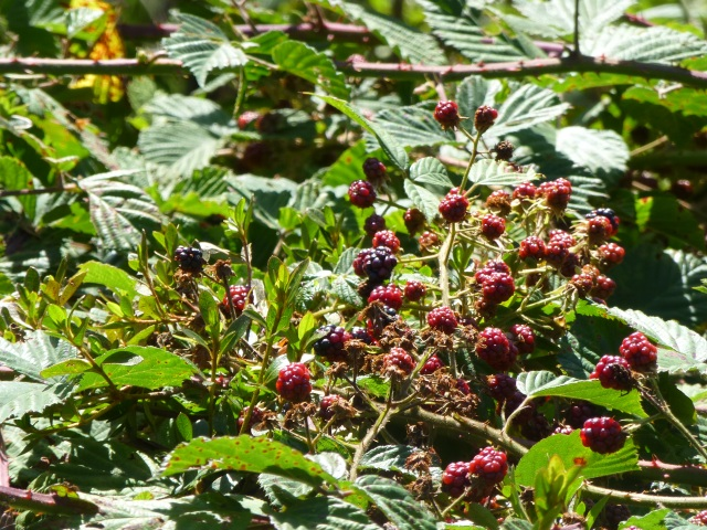 Blackberries At the Rhododendron Garden