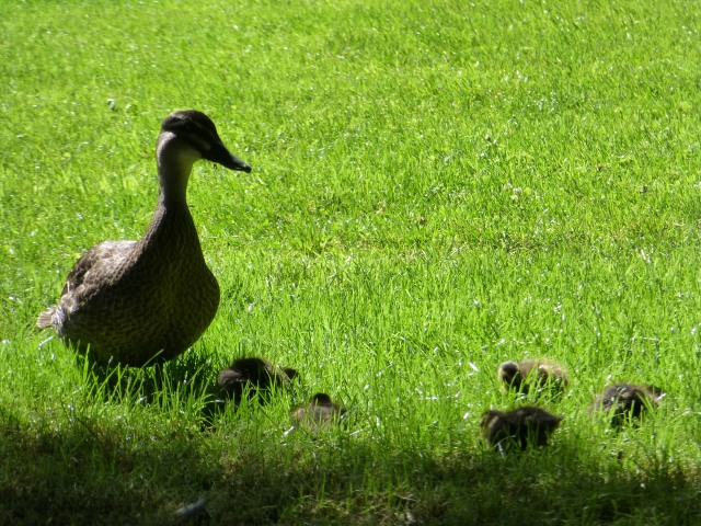 A protective mother and five ducklings at Hobart Gardens
