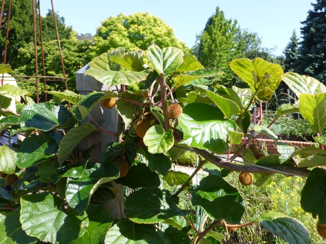 Kiwi fruit on the vine at Hobart Gardens