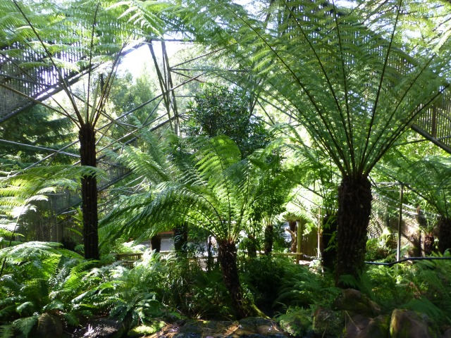Tree Ferns at the Hobart Gardens