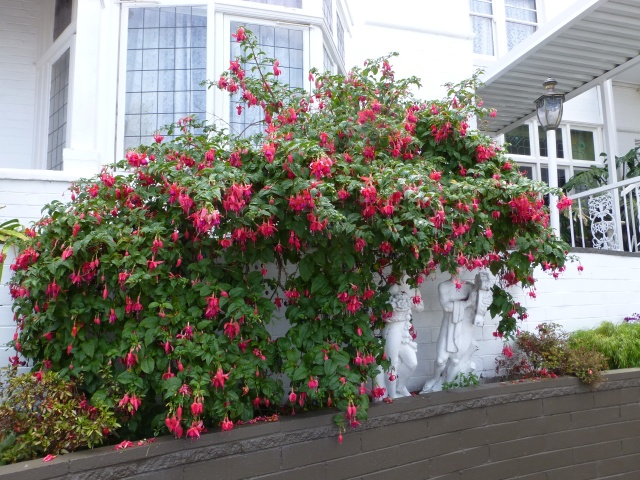 Lovely Fuchsia at the motel where we stayed in Hobart