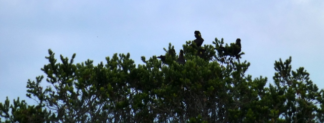 Black Cockatoos nest in the trees near Scamander Tourist Park