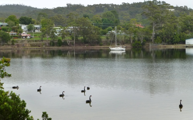 Swans on the millpond that is Georges Bay