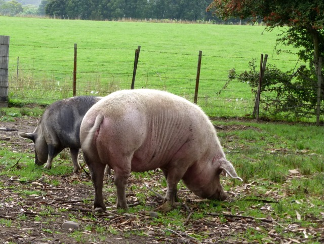 Priscilla the Pig - Princess of the Paddock - and her porker friend